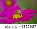 蜜蜂 ミツバチ 虫の写真 4822967