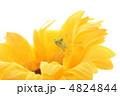 かまきり 螳螂 蟷螂の写真 4824844