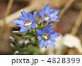 ハルリンドウ 春竜胆 リンドウの写真 4828399
