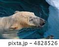 シロクマ 北極熊 ホッキョクグマの写真 4828526