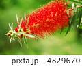 キンポウジュ ブラシの木 ブラシノキの写真 4829670