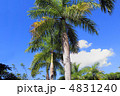 椰子の木 4831240