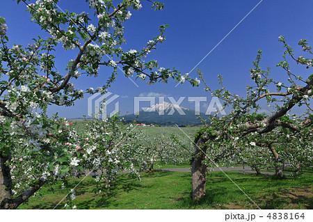 5月りんごの花と岩木山 4838164
