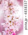 ベニシダレ ベニシダレザクラ 紅枝垂桜の写真 4838337