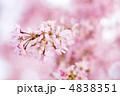 枝垂桜 ベニシダレ ベニシダレザクラの写真 4838351
