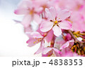 枝垂桜 ベニシダレ ベニシダレザクラの写真 4838353