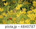 リムナンテス ミツバチ 植物の写真 4840787