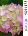 紫陽花 4841173