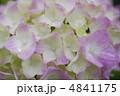 紫陽花 4841175