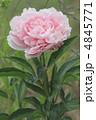シャクヤク 芍薬 花の写真 4845771
