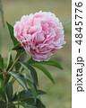 シャクヤク 芍薬 花の写真 4845776