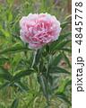 シャクヤク 芍薬 花の写真 4845778