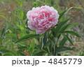 シャクヤク 芍薬 花の写真 4845779