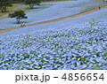 ネモフィラ畑 ネモフィラの花 ネモフィラの丘の写真 4856654