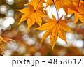 オオモミジ カエデ 黄葉の写真 4858612