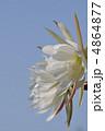 孔雀サボテン 花 植物の写真 4864877