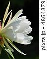 孔雀サボテン 花 植物の写真 4864879