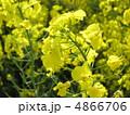 菜の花 4866706