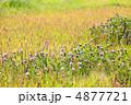 ムラサキツメクサ 紫詰草 赤詰草の写真 4877721