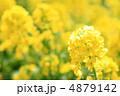 菜の花 4879142