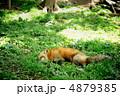 キツネ 狐 キタキツネの写真 4879385