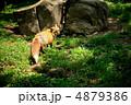 キツネ 狐 キタキツネの写真 4879386