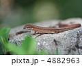 ニホンカナヘビ は虫類 蜥蜴の写真 4882963