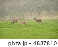 エゾ鹿 蝦夷鹿 鹿の写真 4887810