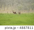 エゾ鹿 蝦夷鹿 鹿の写真 4887811