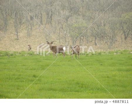 根室半島 牧草地のエゾシカ 4887811