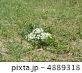 豊砂海岸のハマボウフウの白い花 4889318