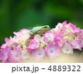 ニホンアマガエル アマガエル 蛙の写真 4889322