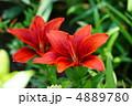 スカシユリ 透百合 ユリの写真 4889780