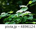 莢蒾ガマズミ 白い小さな花が満開です。 4896124