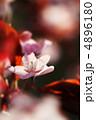 さくら サクラ 桜の写真 4896180