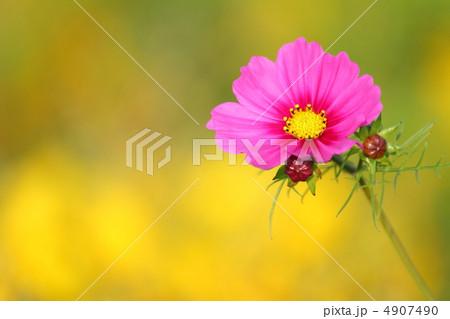 春に咲く早咲きのコスモス(桃色) 4907490