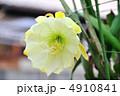 月下美人 ゲッカビジン 花の写真 4910841