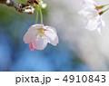 さくら 桜 サクラの写真 4910843
