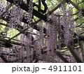 亀井殿五尺藤 藤の花 藤の写真 4911101