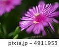松葉菊 キクの花 きくの花の写真 4911953