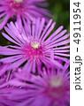 松葉菊 キクの花 きくの花の写真 4911954