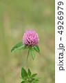 ムラサキツメクサ 紫詰草 赤クローバーの写真 4926979