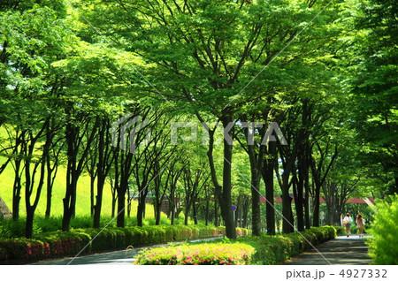 写真素材: 6月 ケヤキ・ニレ科160新緑の街路樹