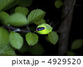 ほたる 蛍 ホタルの写真 4929520
