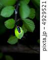 ほたる 蛍 ホタルの写真 4929521
