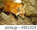 きつね きたきつね キタキツネの写真 4931329