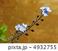 ワスレナグサ(勿忘草) 4932755