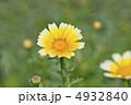 食用菊 シュンギク 春菊の写真 4932840