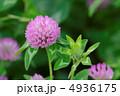 紫詰草 ムラサキツメクサ 赤紫の写真 4936175