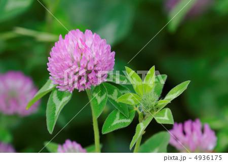 尾久の原公園のピンク色のムラサキツメクサ 4936175